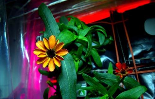 رائد فضاء أمريكي ينشر صورة لأول نبتة تزهر على متن المحطة الفضائية الدولية