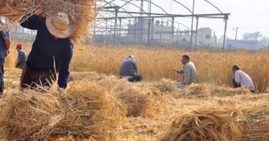 إعادة تدوير قش الأرز لإنتاج الورق