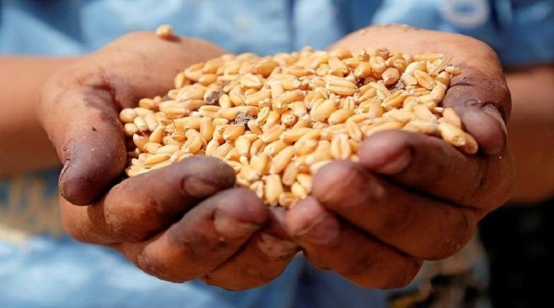 دراسة تكشف فوائد أكل القمح