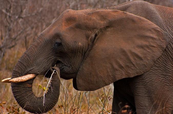 """دراسة: """"رءوس الأفيال"""" كانت الوجبة المفضلة للبشر الأوائل"""