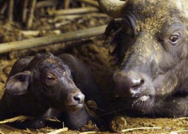 جنوب أفريقيا تكشف عن ولادة أول جاموس عن طريق التلقيح الصناعي