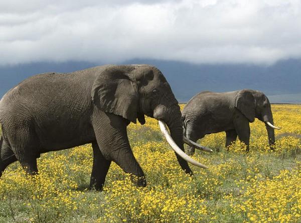 الفيلة
