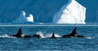 اكتمال عملية إنقاذ كبرى لمجموعة من الحيتان الجانحة في نيوزيلندا