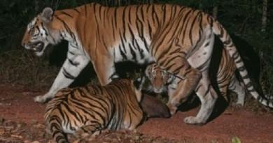 العثور على تجمع لنمور نادرة مهددة بالانقراض شرقي تايلاند