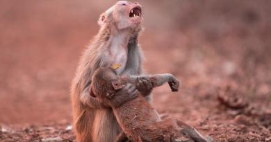 مصور هندي يوثق لحظة بكاء القرود بحسرة