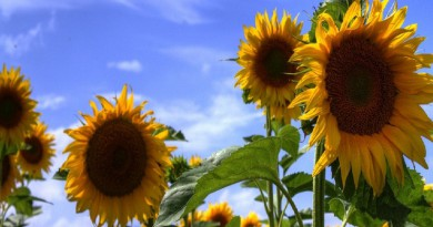 مفاجأة في الرياضيات يكشف عنها عباد الشمس