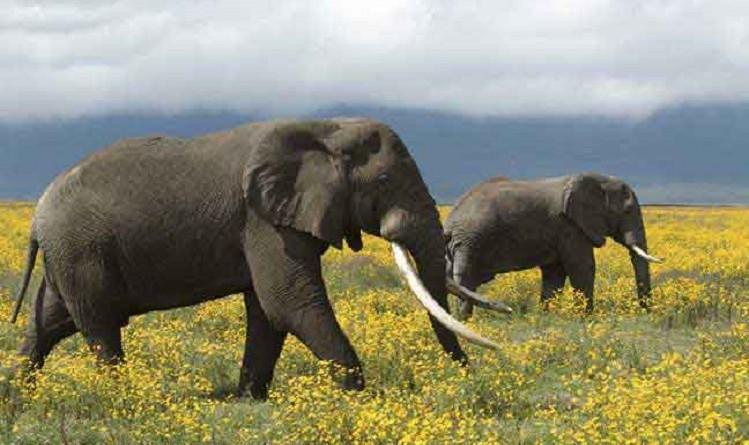 جمعية للرفق بالحيوان: السياحة في آسيا تعرض الأفيال لظروف قاسية