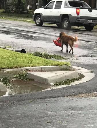 """""""كلب شجاع"""" أنقذ نفسه من إعصار تكساس!"""