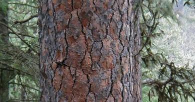 الاشجار المعمرة تكشف تاريخ أخطر ظاهرة كونية