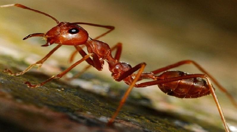 """علماء أمريكيون يطورون علاجًا للصدفية من سُم """"نمل النار"""""""