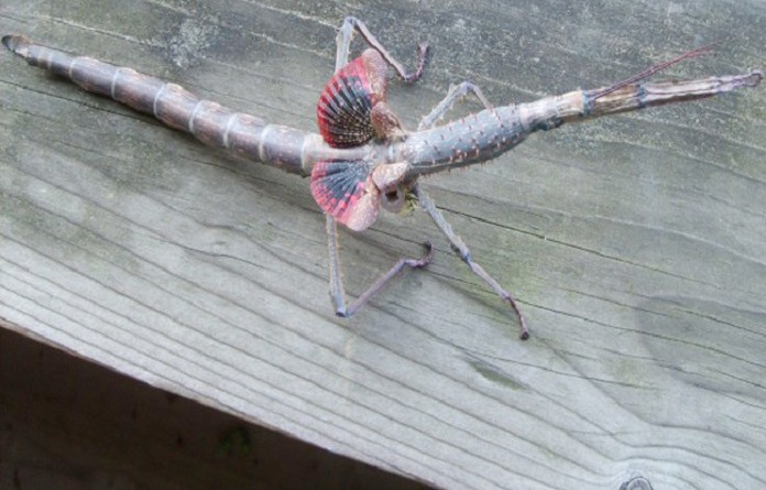 بعد اختفائها 100 عام.. عودة الحشرات العصوية العملاقة للحياة في أستراليا