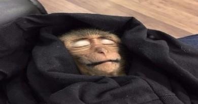 قرد يدخل في غيبوبة بسبب كوب قهوة
