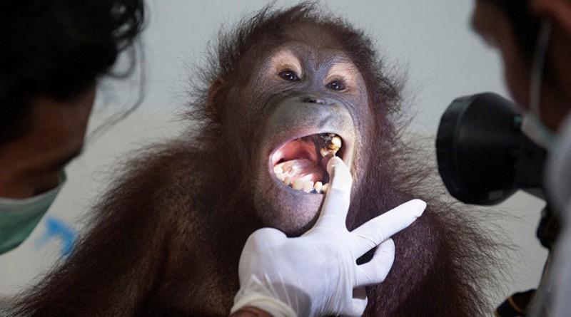 إنسان غاب مهدد بالانقراض في إندونيسيا تعرض لإطلاق نار قبل قطع رأسه