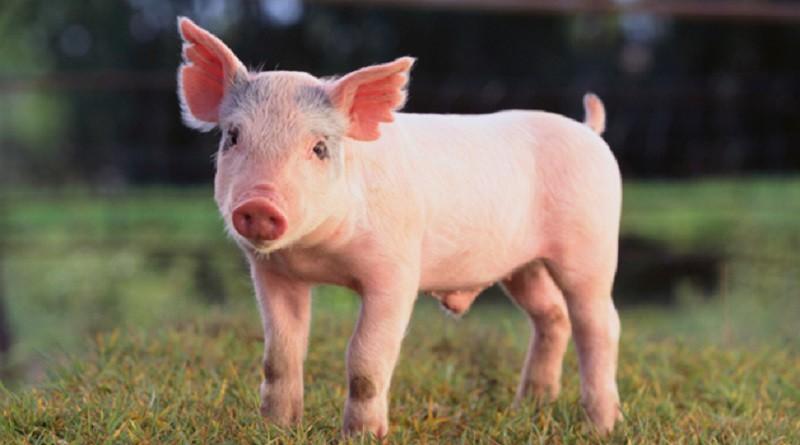 ألمانيا تسمح للصيادين بقتل الخنازير البرية خشية نقلهم عدوى مميتة