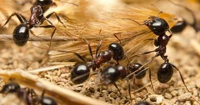 النمل.. مصدر جديد للمضادات الحيوية