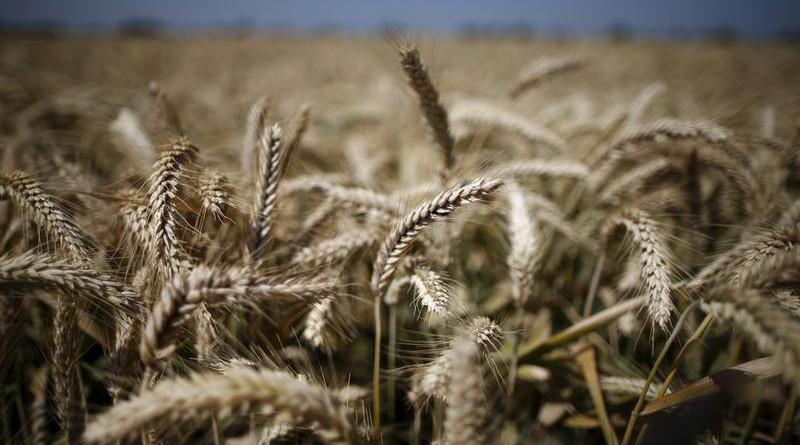 وثيقة: مصر تخفض نسبة البروتين المطلوبة في القمح الروسي والأوكراني والروماني