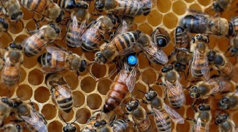 تدهور أعداد النحل وتاثيرة علي مستقبلنا الغذائي