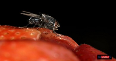 ذباب الفاكهة يكشف أسباب عدم قدرة الإنسان على التذكر بعد حالة السكر