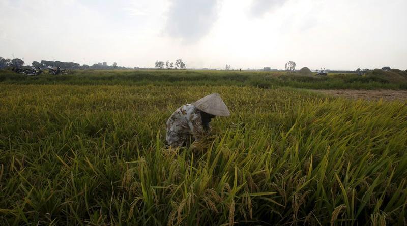 مزارع يحصد الأرز في حقل في فيتنام. صورة من أرشيف رويترز