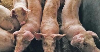 الصين تؤكد ظهور بؤرة جديدة لحمى الخنازير الأفريقية