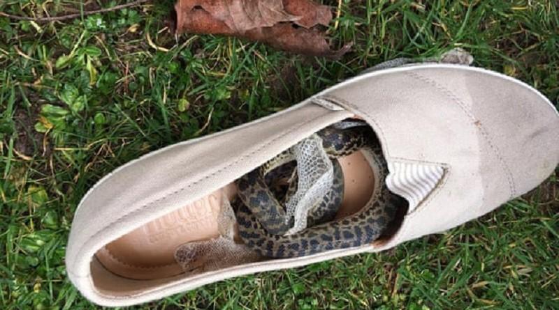 ثعبان يسافر 15 كيلومتر في حذاء امرأة