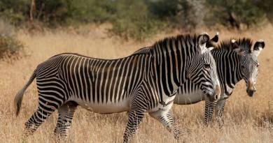 حماران وحشيان في مركز بحوث في منطقة لايكيبيا في كينيا. صورة من أرشيف رويترز.