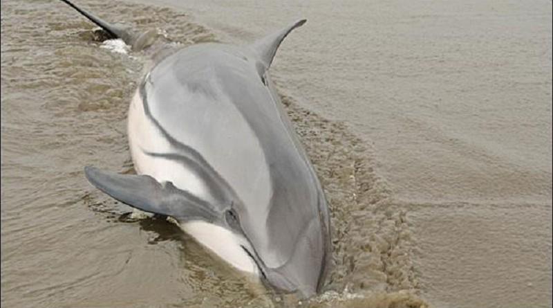"""""""مرض يصيب البشر"""" يدفع الدلافين إلى """"الموت على الشاطئ"""""""