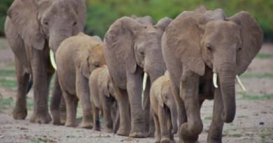 شاهد حزن الفيلة على فراق قائدهم