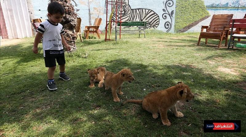 لبؤة تضع 3 أشبال في حديقة حيوان بغزة