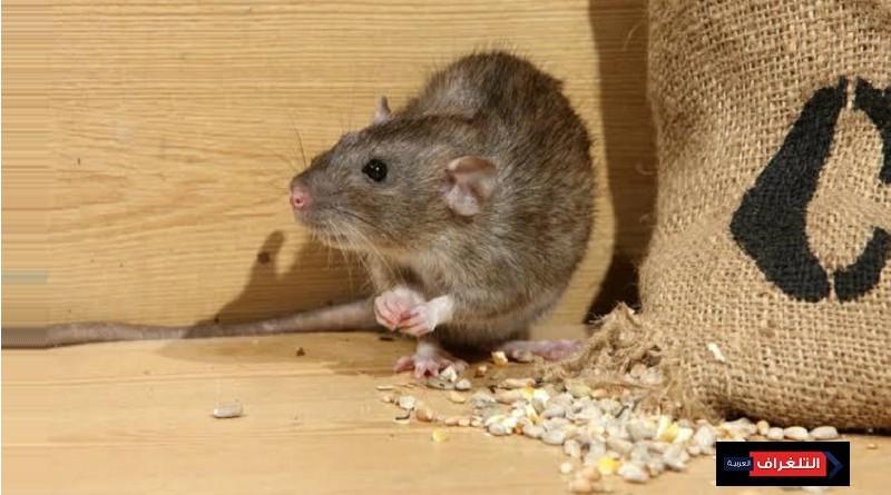 امسك فأر ....كيف تتعرف علي آثار الفئران بمنزلك؟